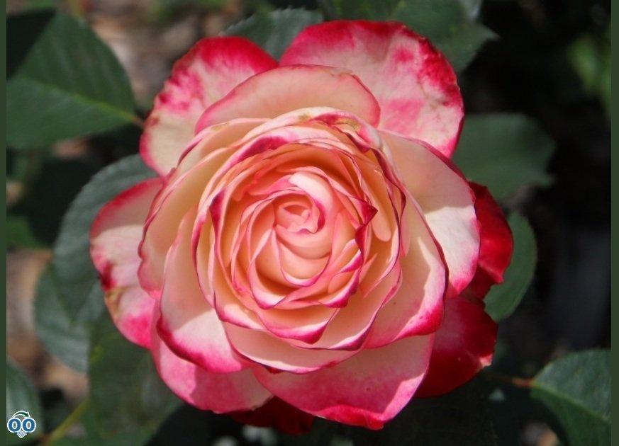 Pink Rose & Himalayan Sea Salt Scrub
