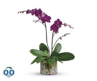 Gratitude Glorieuse Orchidée