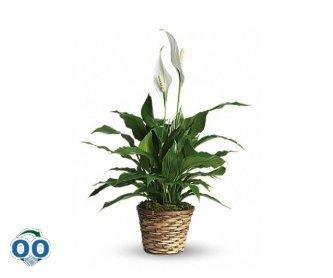 Spathiphyllum Élégance Pure - Petit